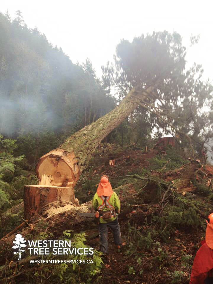 Vancouver commercial tree service by Western Tree Services Corp.